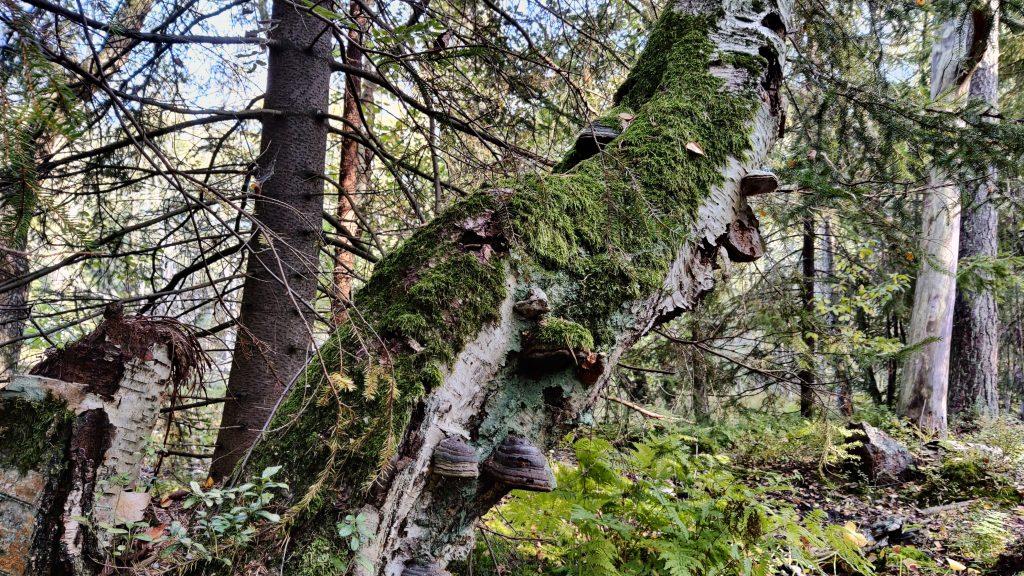 Lahopuu metsässä. Kuvaaja: Alisa Vänttinen/FEE Suomi
